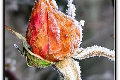 Rose-givree